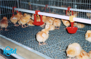 Breeding of caged chickens